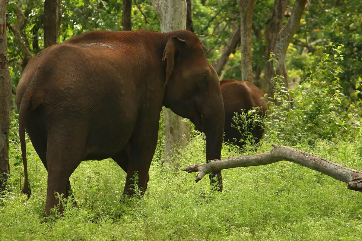 Elephant Mudumalai, Tamil Nadu, India