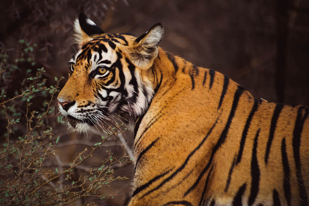 Ranthambore National Park, Rajasthan, India