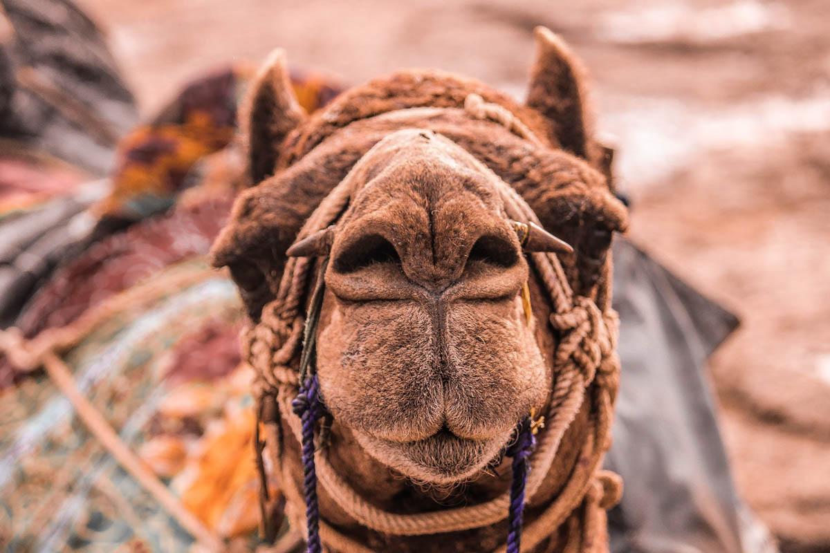 Rajasthan camel - India Kerala Connections