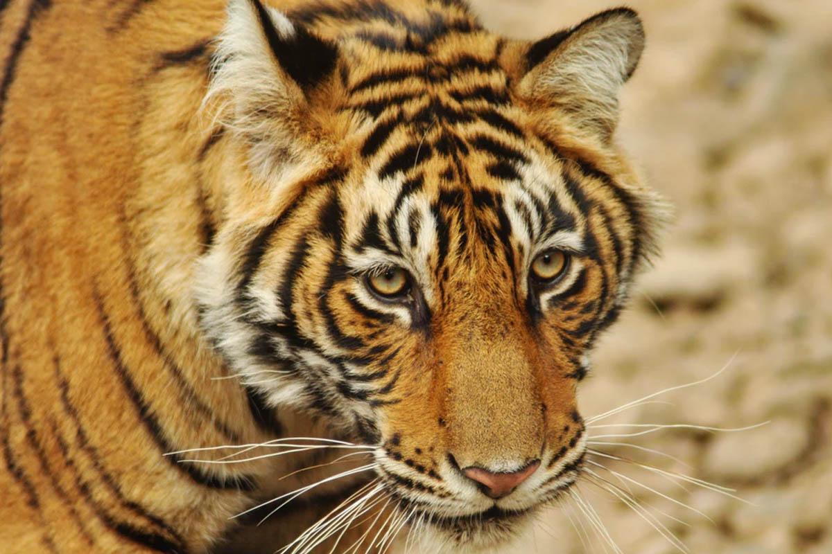 Sunderbans Tiger